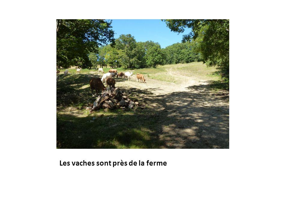 Les vaches sont près de la ferme