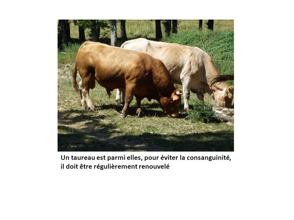 Un taureau est parmi elles, pour éviter la consanguinité, il doit être régulièrement renouvelé