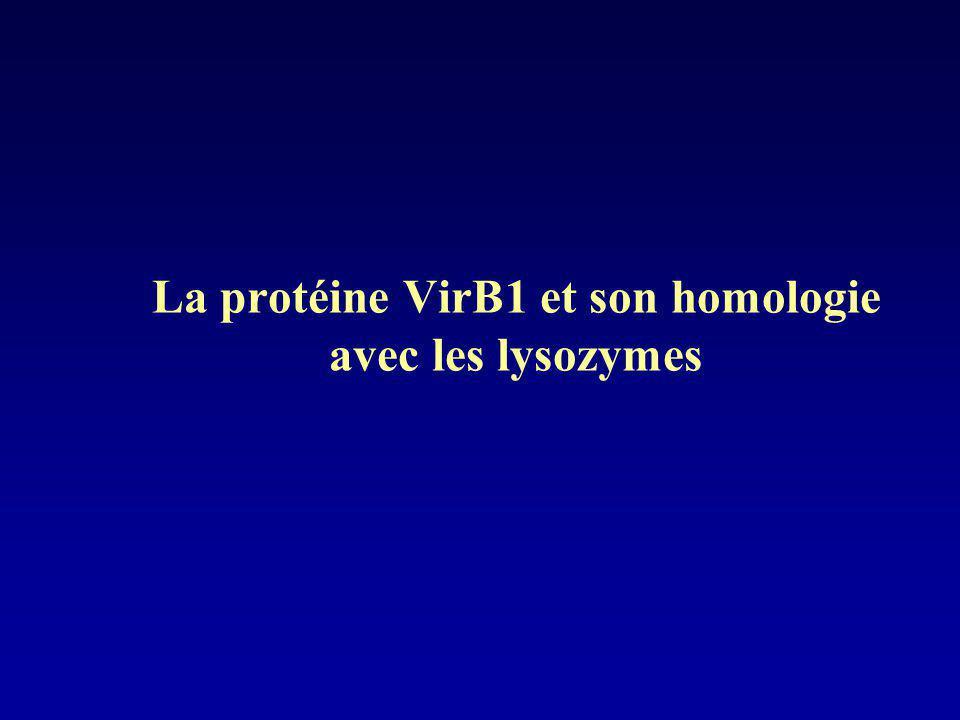 La protéine VirB1 et son homologie avec les lysozymes