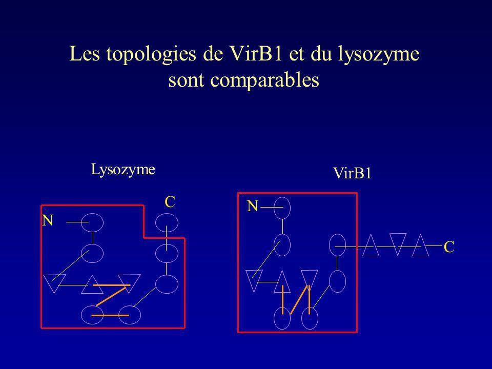 Les topologies de VirB1 et du lysozyme sont comparables C N C N Lysozyme VirB1