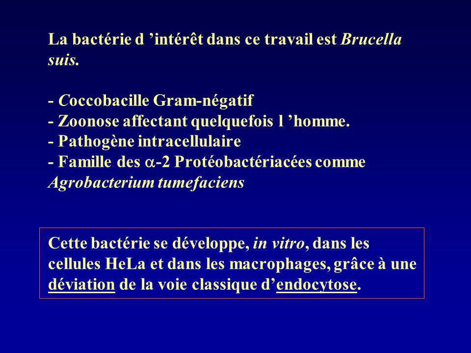 La bactérie d intérêt dans ce travail est Brucella suis. - Coccobacille Gram-négatif - Zoonose affectant quelquefois l homme. - Pathogène intracellula