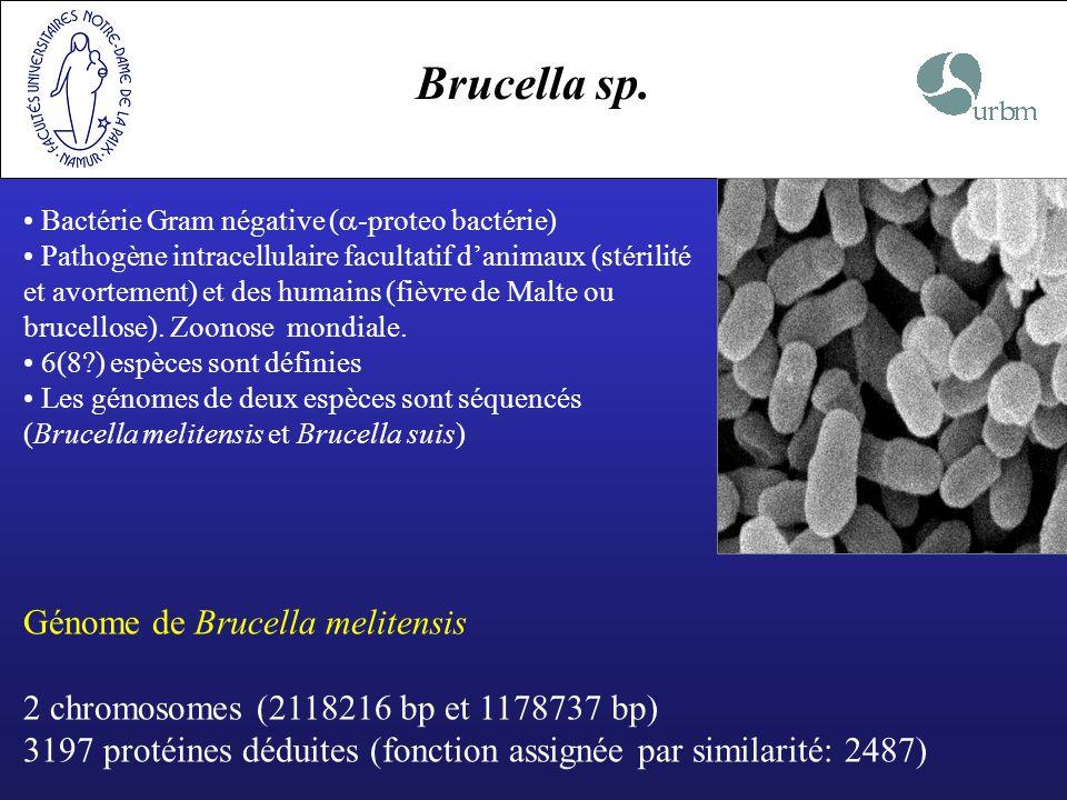Brucella sp. Bactérie Gram négative ( -proteo bactérie) Pathogène intracellulaire facultatif danimaux (stérilité et avortement) et des humains (fièvre