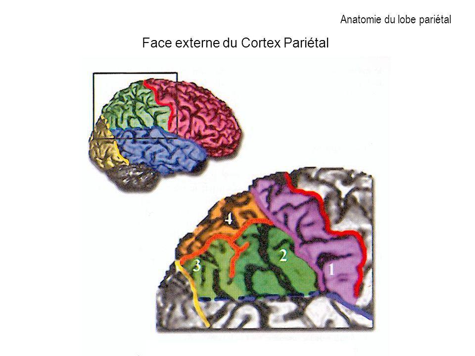 Anatomie du lobe pariétal Face externe du Cortex Pariétal