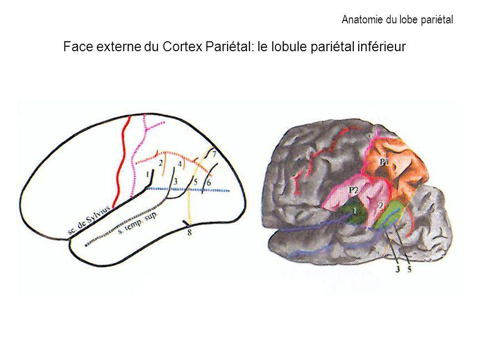 Anatomie du lobe pariétal Face externe du Cortex Pariétal: le lobule pariétal inférieur