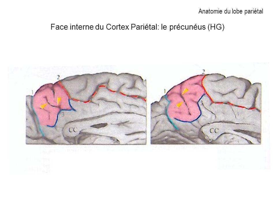 Anatomie du lobe pariétal Face interne du Cortex Pariétal: le précunéus (HG)