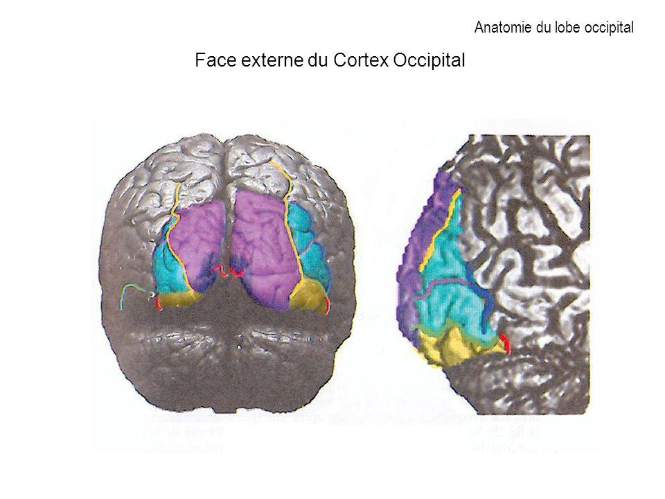 Anatomie du lobe occipital Face externe du Cortex Occipital