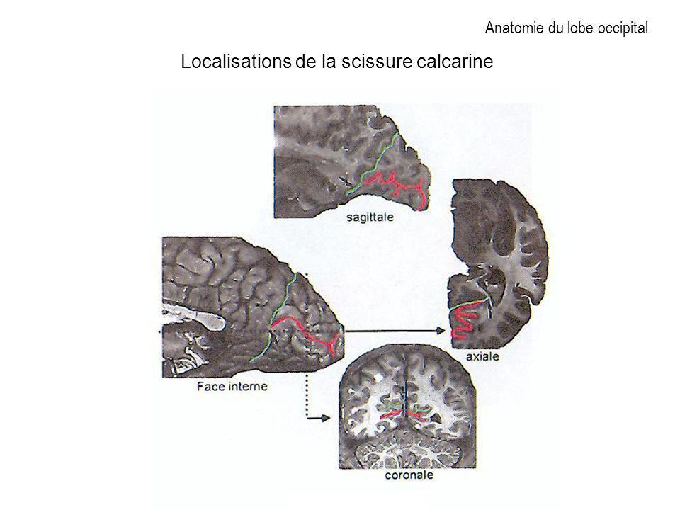 Anatomie du lobe occipital Localisations de la scissure calcarine