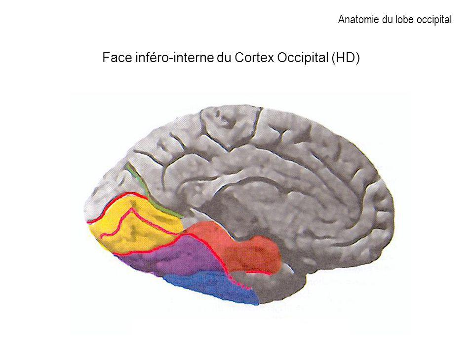 Anatomie du lobe occipital Face inféro-interne du Cortex Occipital (HD)