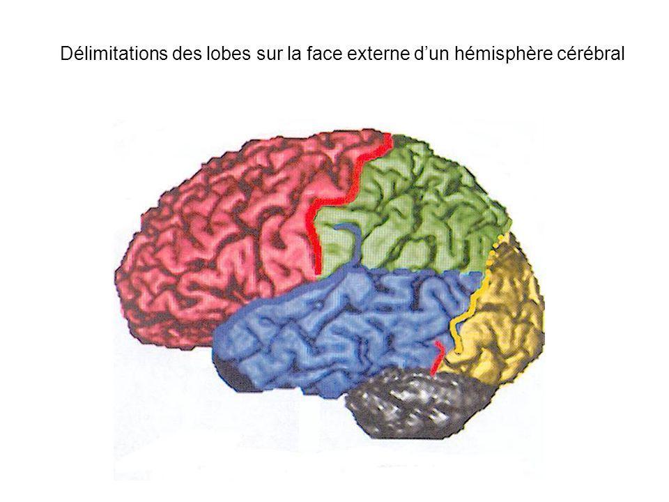 Délimitations des lobes sur la face externe dun hémisphère cérébral