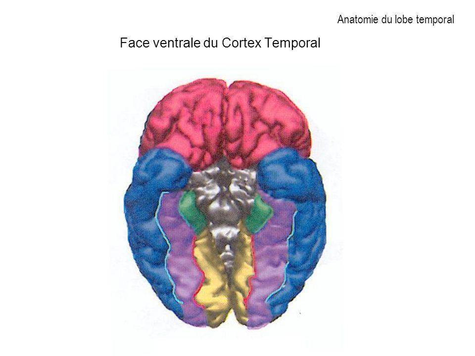 Anatomie du lobe temporal Face ventrale du Cortex Temporal