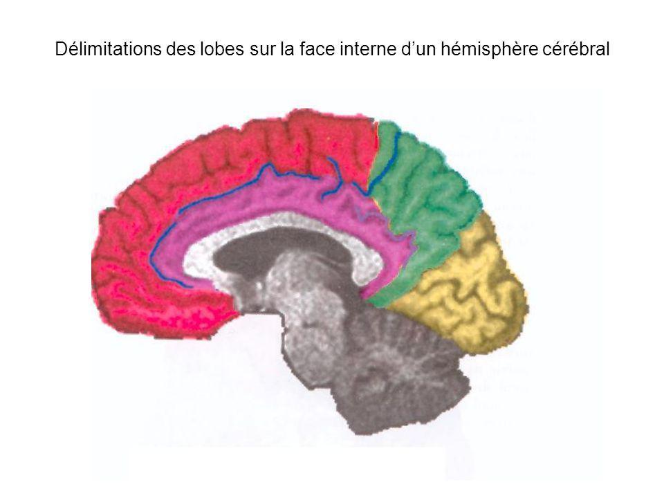 Délimitations des lobes sur la face interne dun hémisphère cérébral