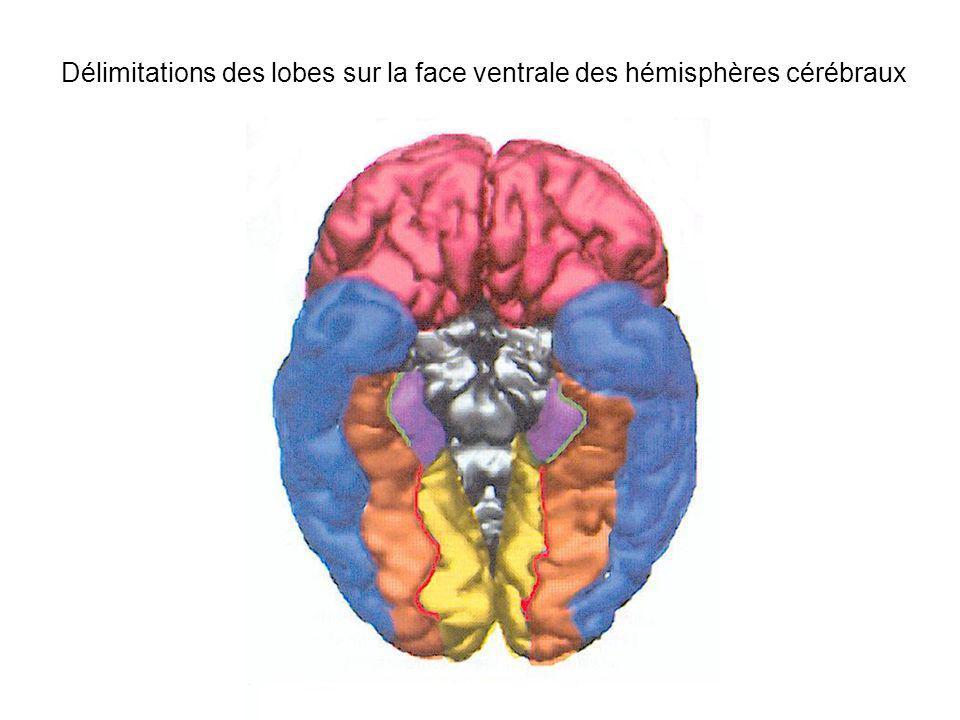 Anatomie du lobe occipital Face externe du Cortex Occipital