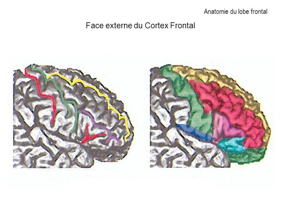 Anatomie du lobe frontal Face externe du Cortex Frontal
