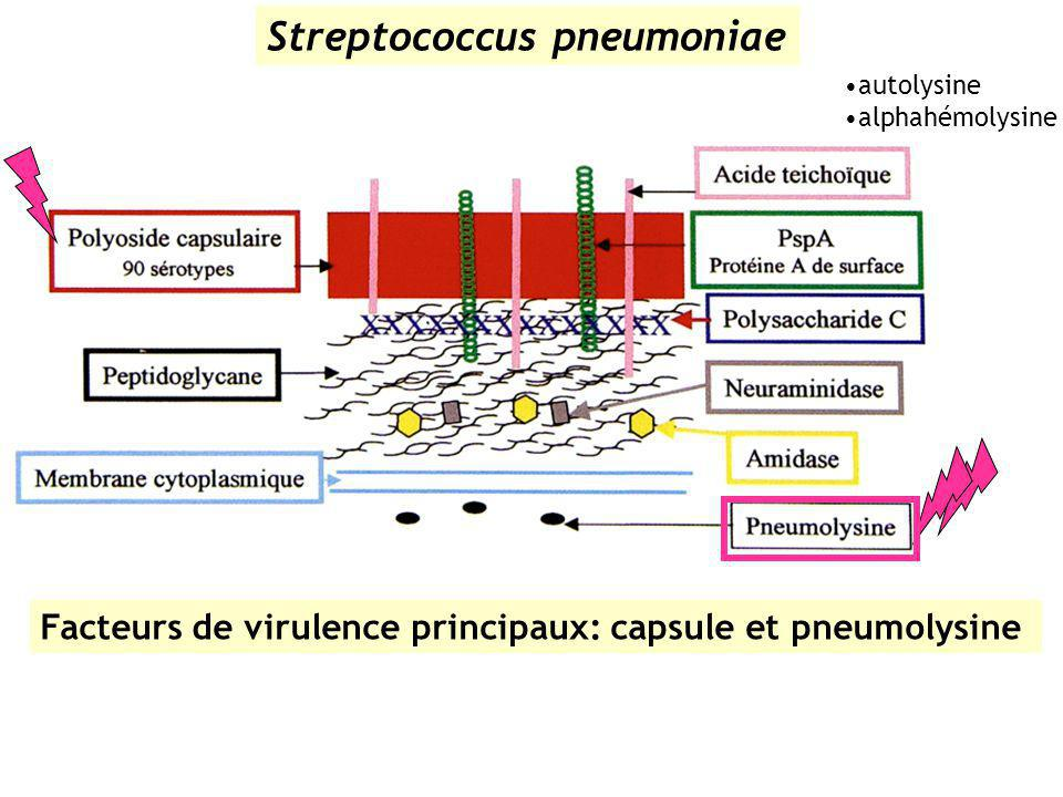 Streptococcus pneumoniae Facteurs de virulence principaux: capsule et pneumolysine autolysine alphahémolysine