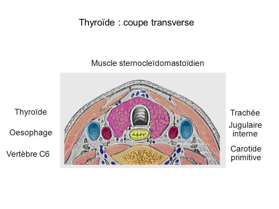 Muscle sternocleïdomastoïdien Trachée Thyroïde Oesophage Vertèbre C6 Jugulaire interne Carotide primitive Thyroïde : coupe transverse