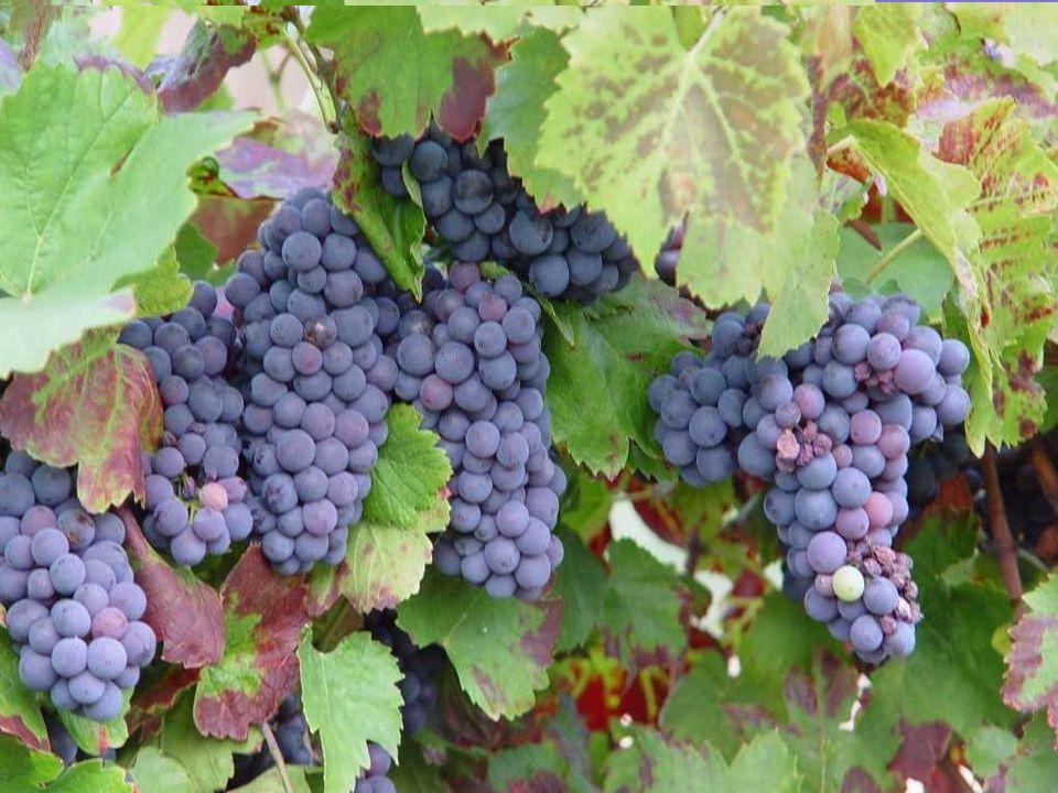 Cest ne plus trouver de goût à un bon vin fraîchement débouché ;