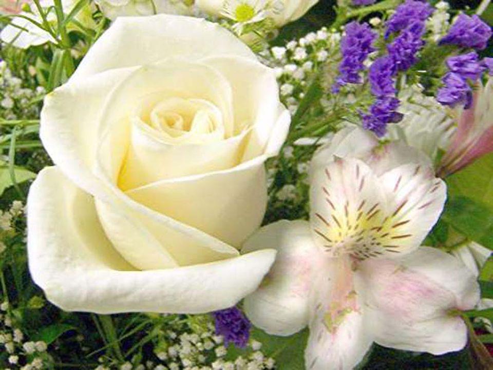 Devant ce besoin incessant…cette fleur épongera votre douleur… Son arôme dégagera un parfum enrobé de douceur… Entretenez cette douce et tendre Amitié…si franche… Choisissez de préférence la Rose Blanche… Cétait la beauté infini de ma maman… Cest une caresse ultime… Comme lAmour de nos vingt ans…