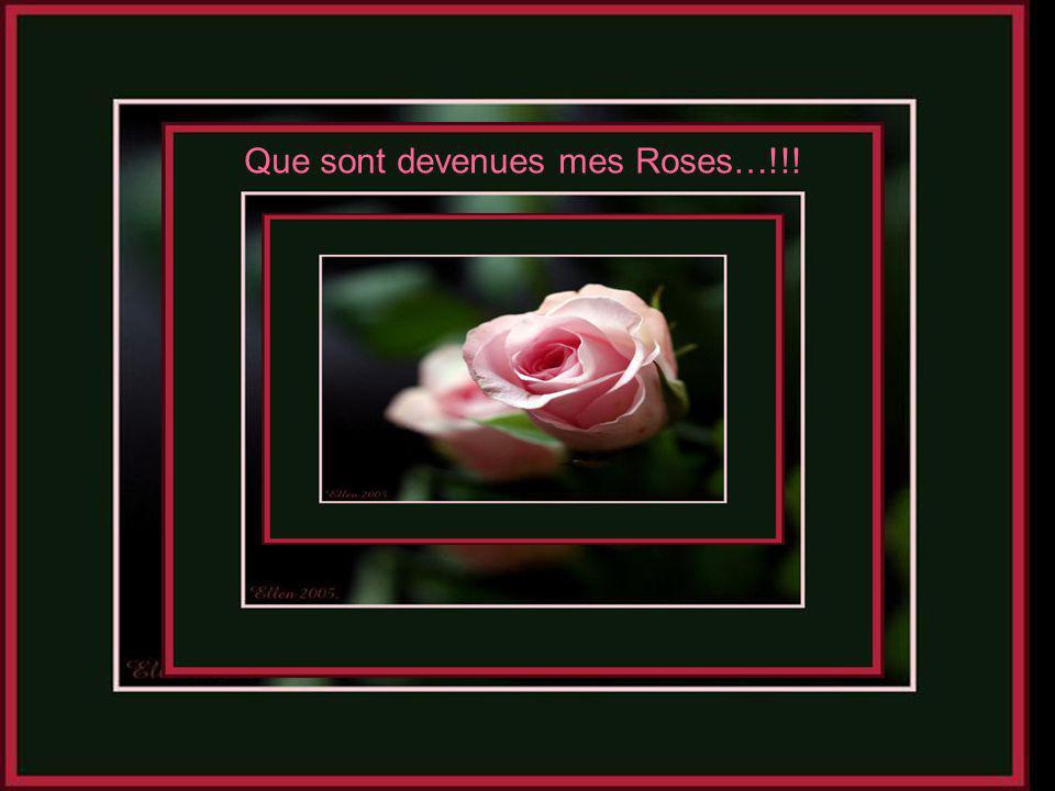 Que sont devenues mes Roses…!!!