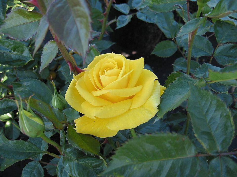 Mes Roses étaient mon lien avec les autres… Elles mont toujours conseillée comme une joie intense… Jamais je nai jalousé personne…face à la vôtre… Dans votre visage, je vous voyais baigner de larmes… La Rose est lUnique et Grande Dame… Elle réconforte dans une tendresse immense…