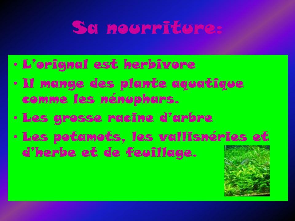 Sa nourriture: Lorignal est herbivore Il mange des plante aquatique comme les nénuphars.