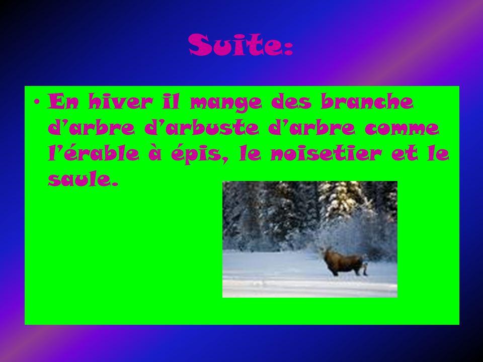 Suite: En hiver il mange des branche darbre darbuste darbre comme lérable à épis, le noisetier et le saule.