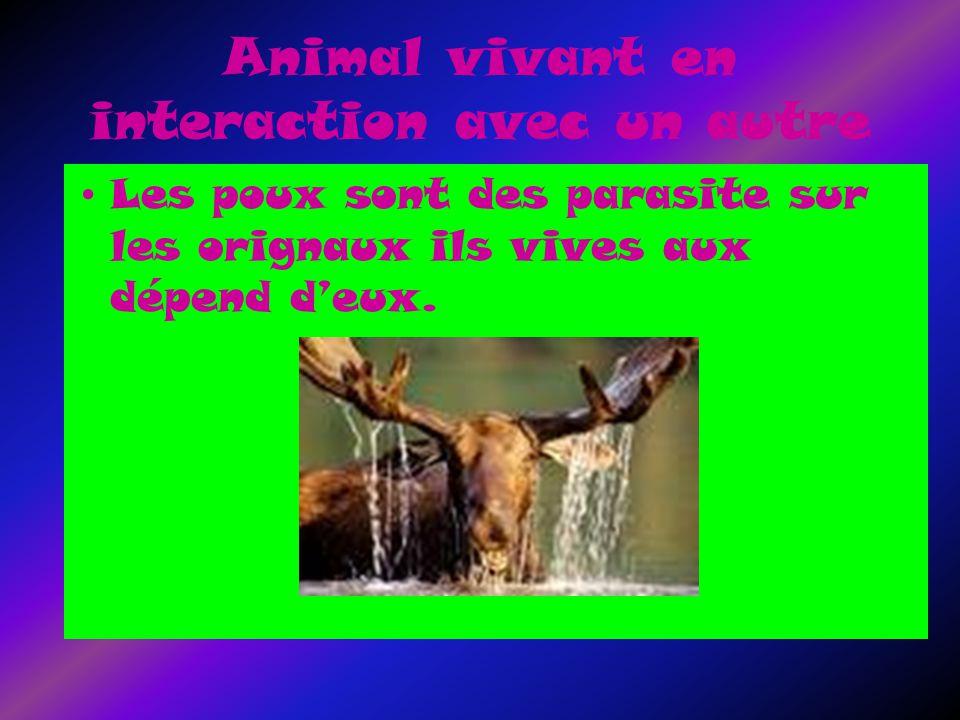 Animal vivant en interaction avec un autre Les poux sont des parasite sur les orignaux ils vives aux dépend deux.