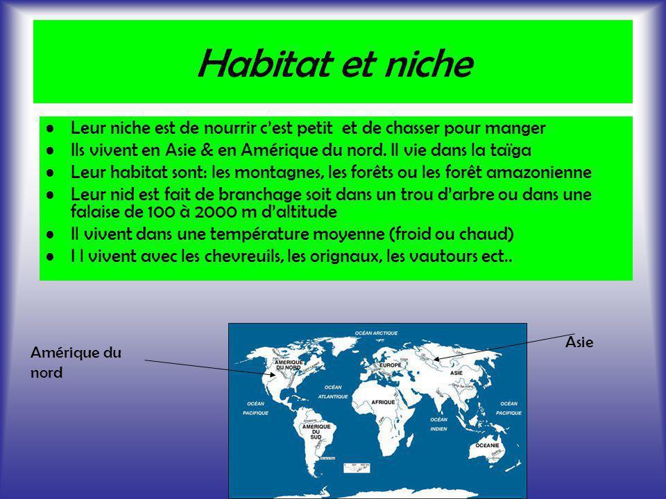 Habitat et niche Leur niche est de nourrir cest petit et de chasser pour manger Ils vivent en Asie & en Amérique du nord. Il vie dans la taïga Leur ha