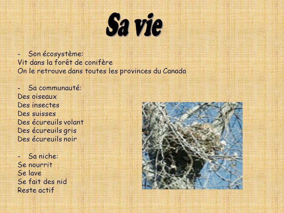 -Son écosystème: Vit dans la forêt de conifère On le retrouve dans toutes les provinces du Canada -Sa communauté: Des oiseaux Des insectes Des suisses