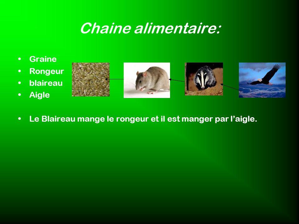 Chaine alimentaire: Graine Rongeur blaireau Aigle Le Blaireau mange le rongeur et il est manger par laigle.