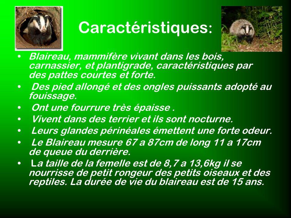 Caractéristiques : Blaireau, mammifère vivant dans les bois, carnassier, et plantigrade, caractéristiques par des pattes courtes et forte. Des pied al