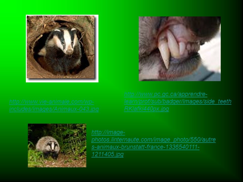 http://www.vie-animale.com/wp- includes/images/Animaux-043.jpg http://www.pc.gc.ca/apprendre- learn/prof/sub/badger/images/side_teeth RKlafki440px.jpg