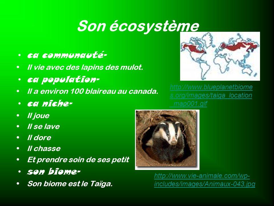 Son écosystème ca communauté- Il vie avec des lapins des mulot. ca population- Il a environ 100 blaireau au canada. ca niche- Il joue Il se lave Il do