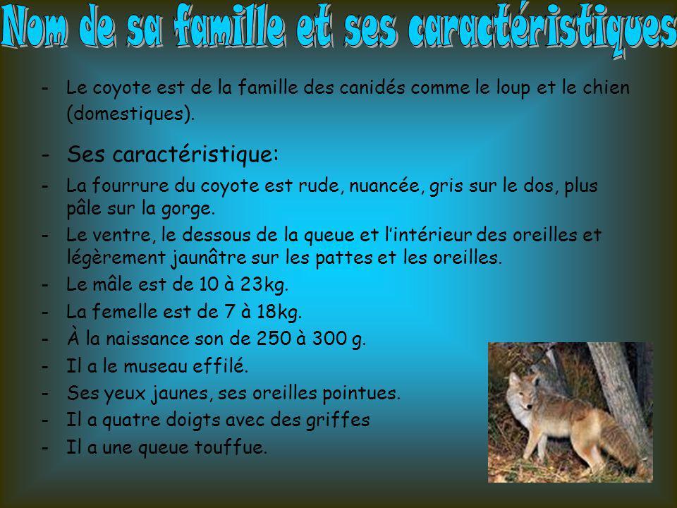 -Le coyote est de la famille des canidés comme le loup et le chien (domestiques). -Ses caractéristique: -La fourrure du coyote est rude, nuancée, gris