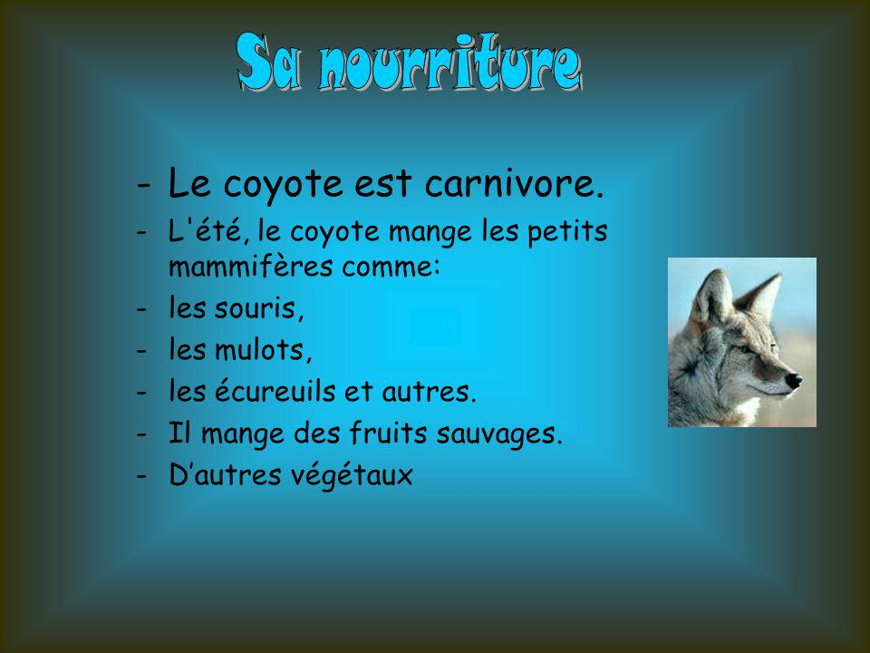 -Le coyote est carnivore. -L'été, le coyote mange les petits mammifères comme: -les souris, -les mulots, -les écureuils et autres. -Il mange des fruit