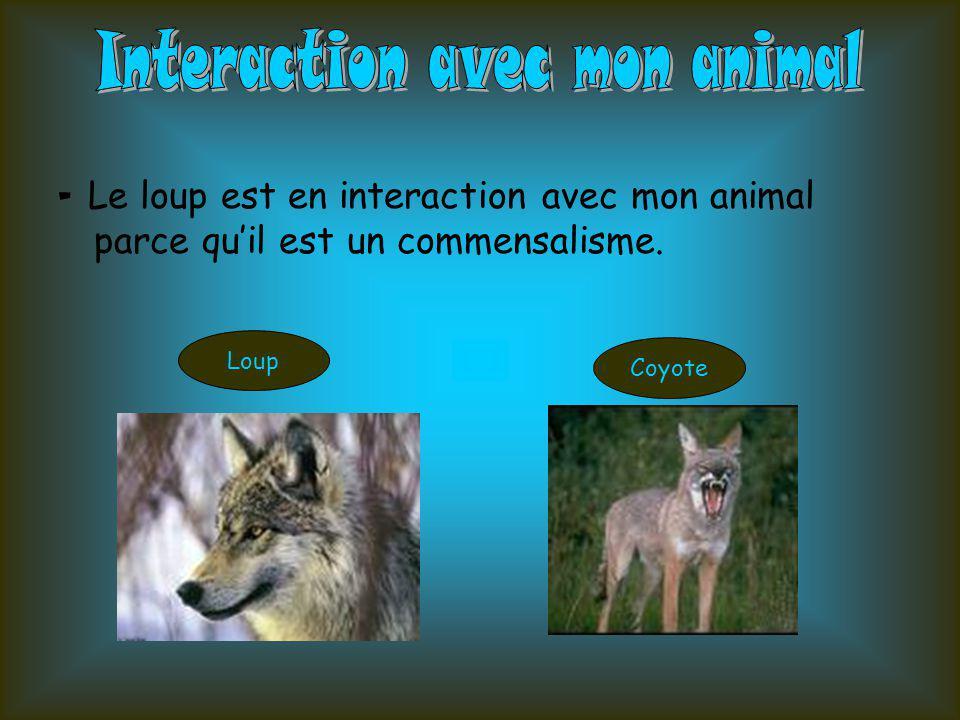 Coyote ÉcureuilGland