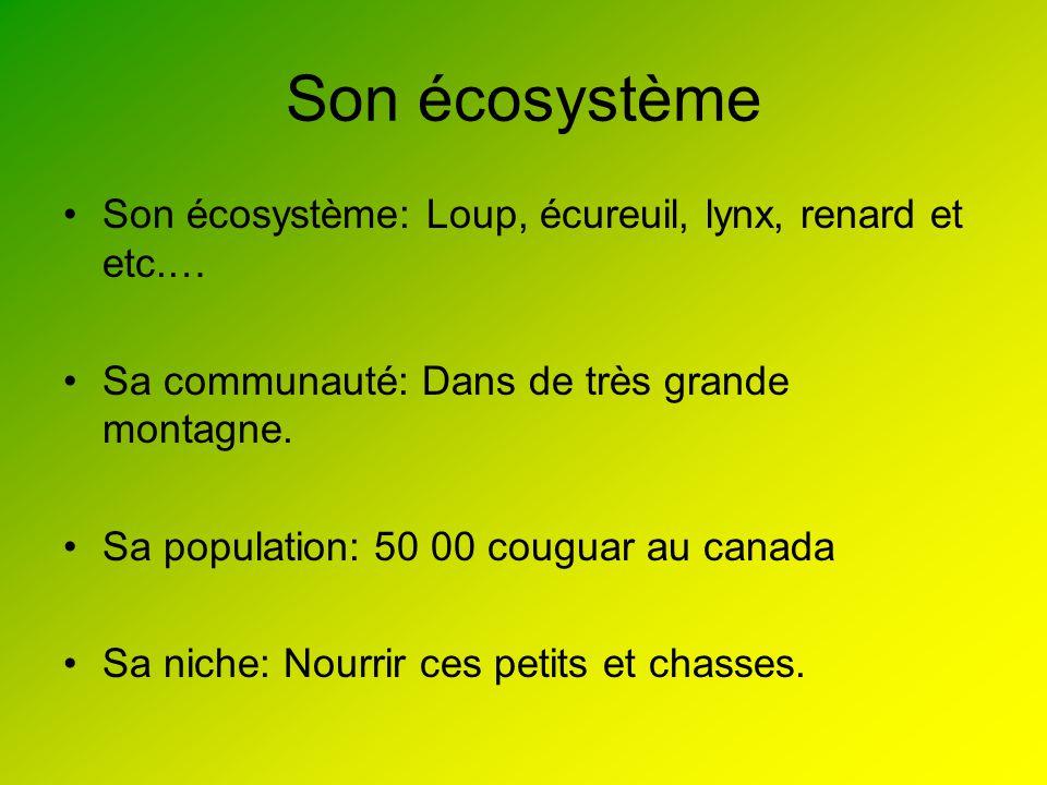 Son écosystème Son écosystème: Loup, écureuil, lynx, renard et etc.… Sa communauté: Dans de très grande montagne. Sa population: 50 00 couguar au cana