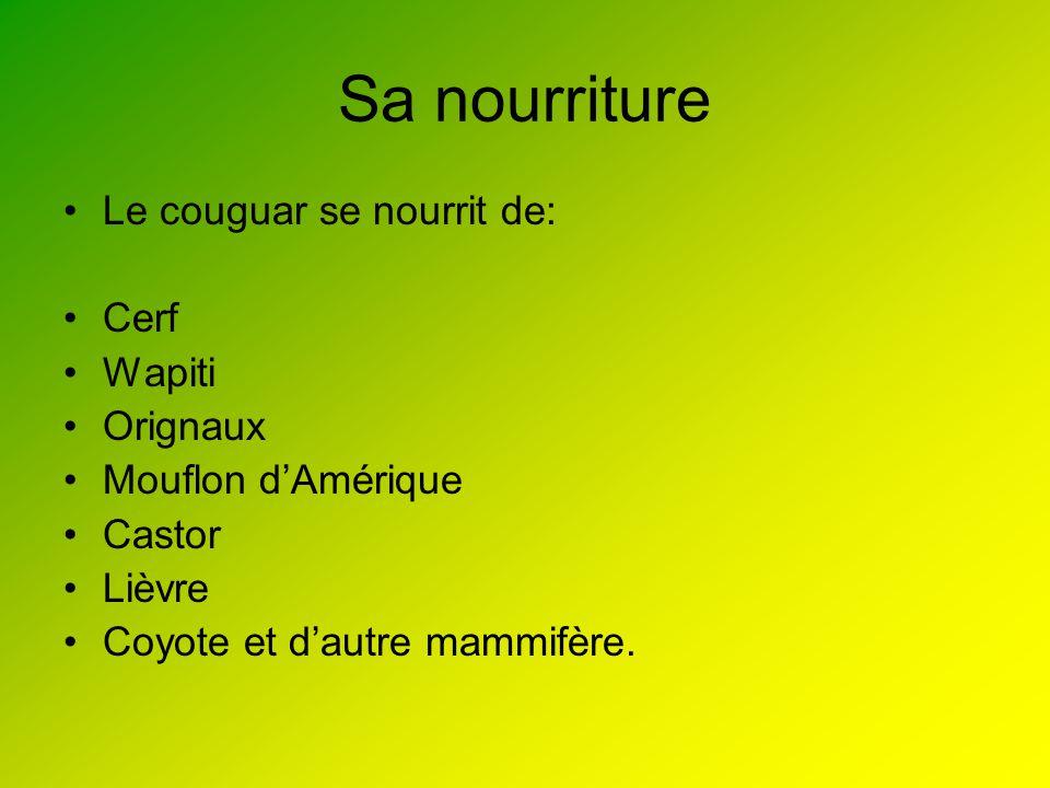 Sa nourriture Le couguar se nourrit de: Cerf Wapiti Orignaux Mouflon dAmérique Castor Lièvre Coyote et dautre mammifère.