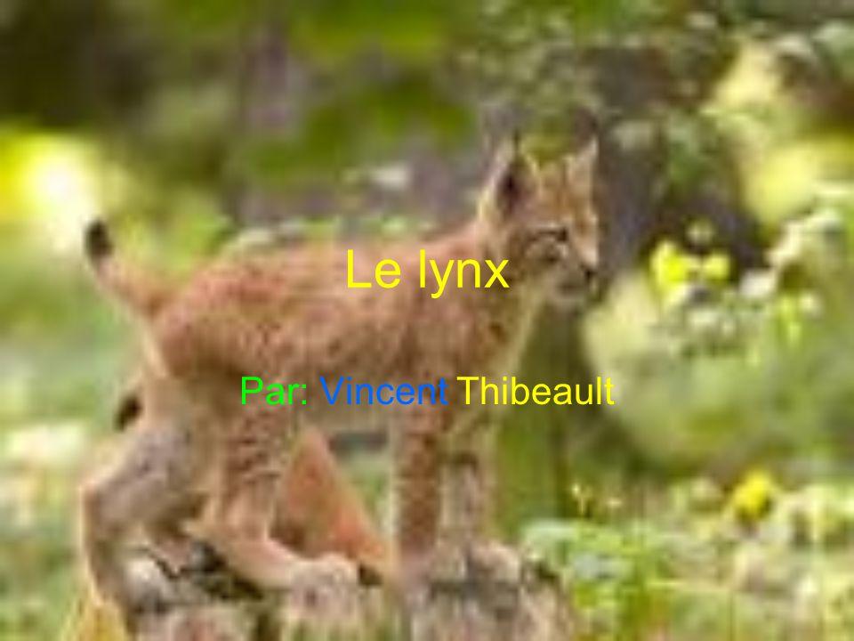 Le lynx Par: Vincent Thibeault