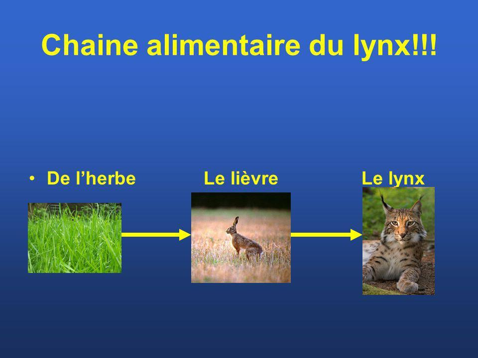 Chaine alimentaire du lynx!!! De lherbe Le lièvre Le lynx