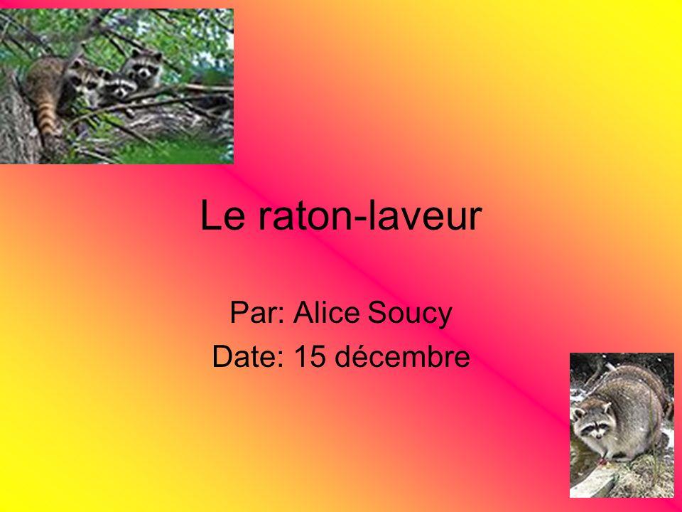 Le raton-laveur Par: Alice Soucy Date: 15 décembre