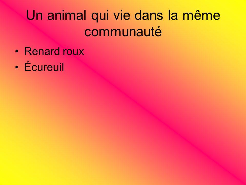 Un animal qui vie dans la même communauté Renard roux Écureuil