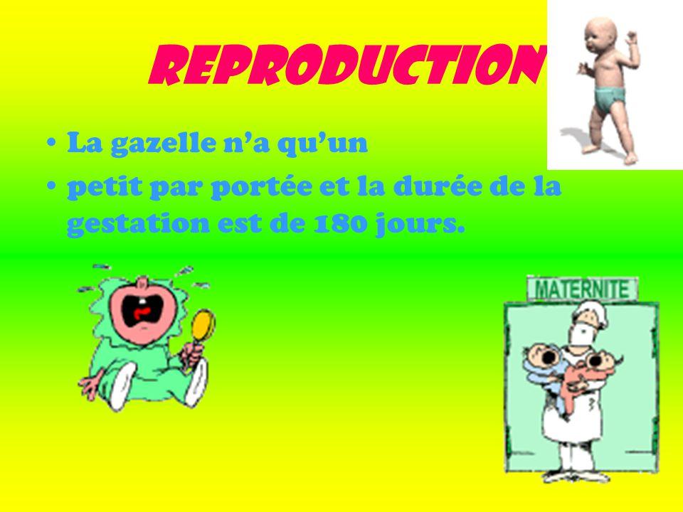Reproduction La gazelle na quun petit par portée et la durée de la gestation est de 180 jours.