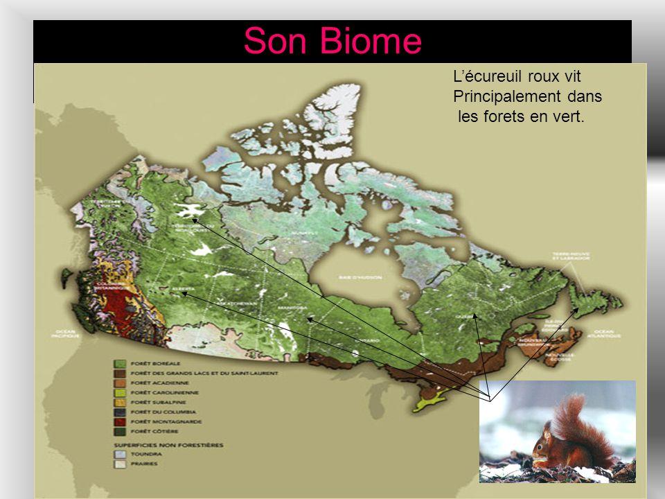Son Biome Lécureuil roux vit Principalement dans les forets en vert.