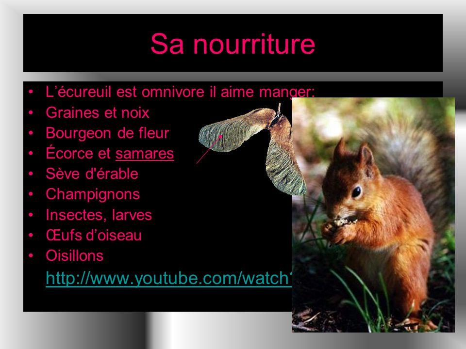Sa nourriture Lécureuil est omnivore il aime manger: Graines et noix Bourgeon de fleur Écorce et samares Sève d érable Champignons Insectes, larves Œufs doiseau Oisillons http://www.youtube.com/watch?v=_-qg6gWnRs4