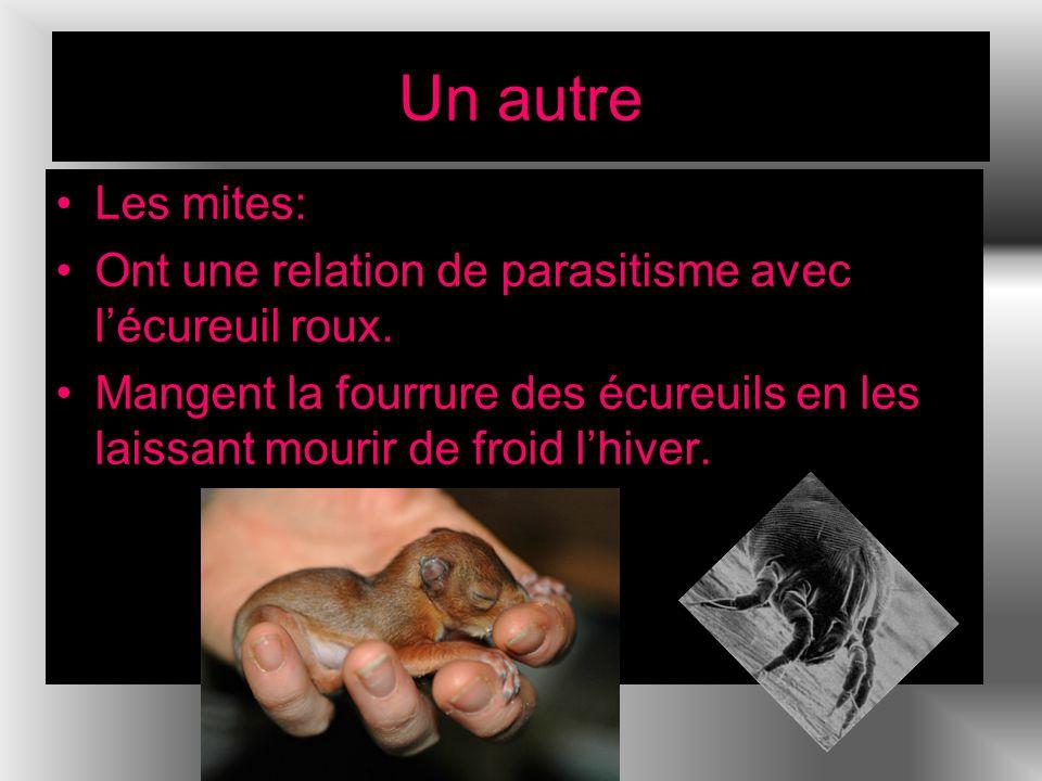 Un autre Les mites: Ont une relation de parasitisme avec lécureuil roux. Mangent la fourrure des écureuils en les laissant mourir de froid lhiver.