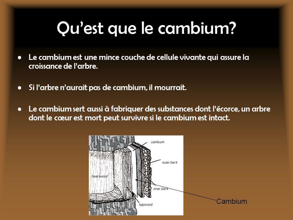Quest que le cambium? Le cambium est une mince couche de cellule vivante qui assure la croissance de larbre. Si larbre naurait pas de cambium, il mour