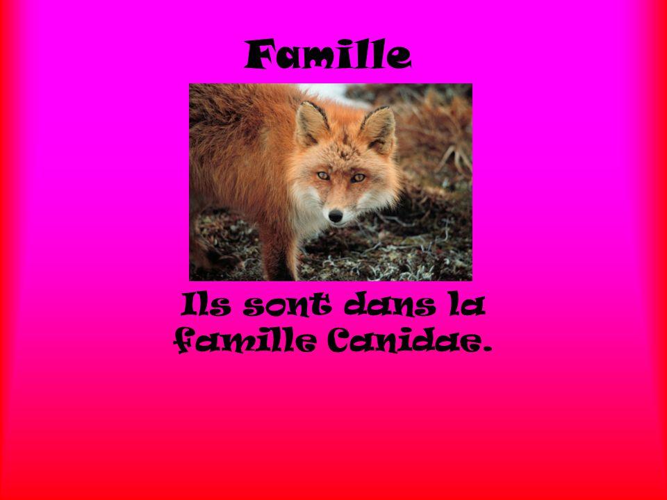 Famille Ils sont dans la famille Canidae.