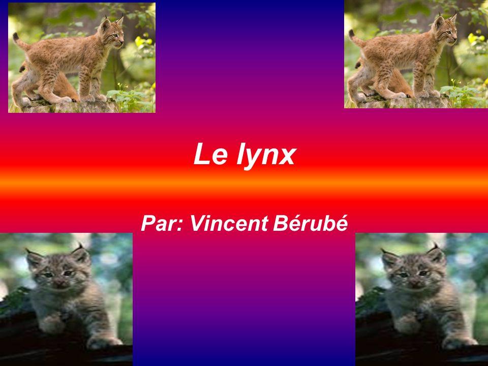 conclusion Jai appris beaucoup de chose sur le lynx.