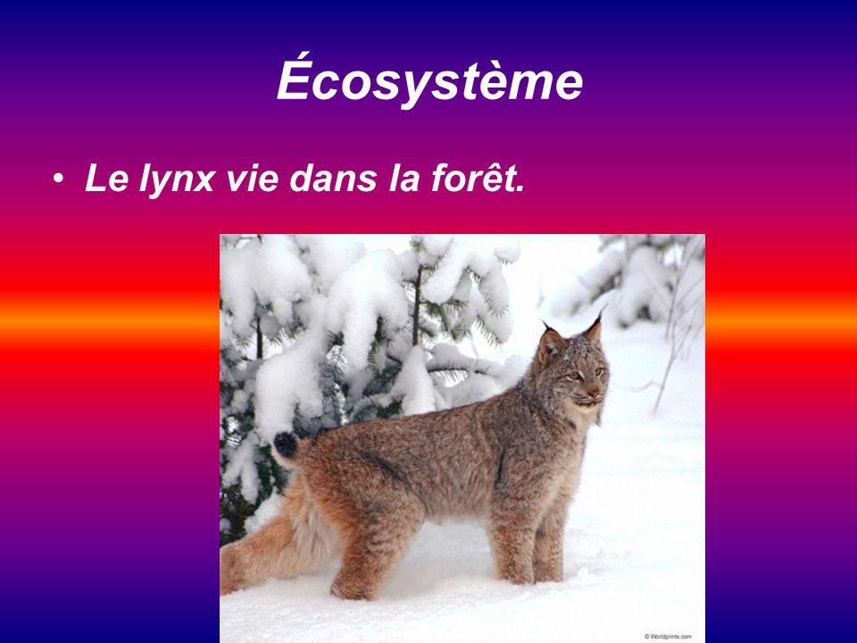 Écosystème Le lynx vie dans la forêt.