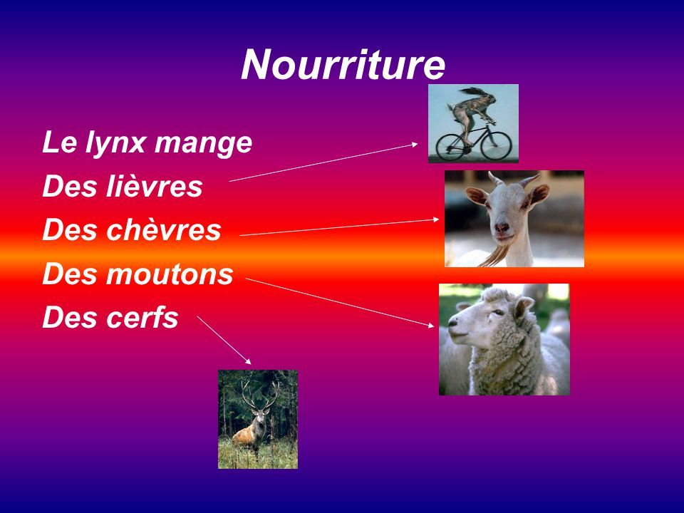 Nourriture Le lynx mange Des lièvres Des chèvres Des moutons Des cerfs